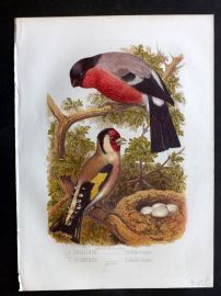Jones & Cassell 1869 Antique Bird Print. Bullfinch & Goldfinch